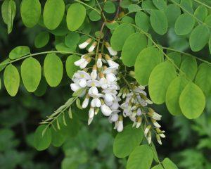 acacia branca